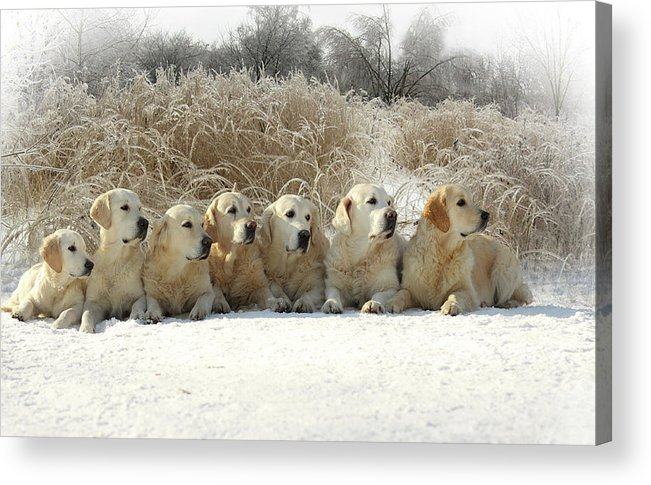 Pets Acrylic Print featuring the photograph Golden Retrievers by Sergey Ryumin