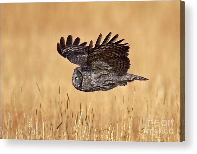 Great Gray Owl Acrylic Print featuring the photograph Great Gray Flight by Bill Singleton