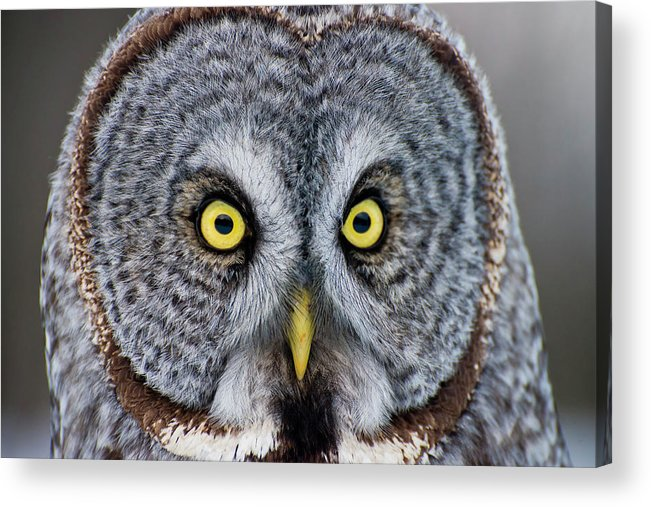Animal Themes Acrylic Print featuring the photograph Great Gray Owl by Copyright Michael Cummings