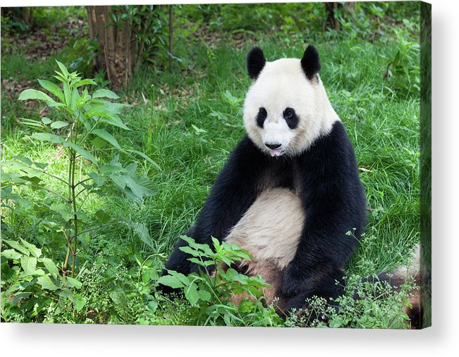 Chinese Culture Acrylic Print featuring the photograph Great Panda Showing Its Tongue - by Fototrav