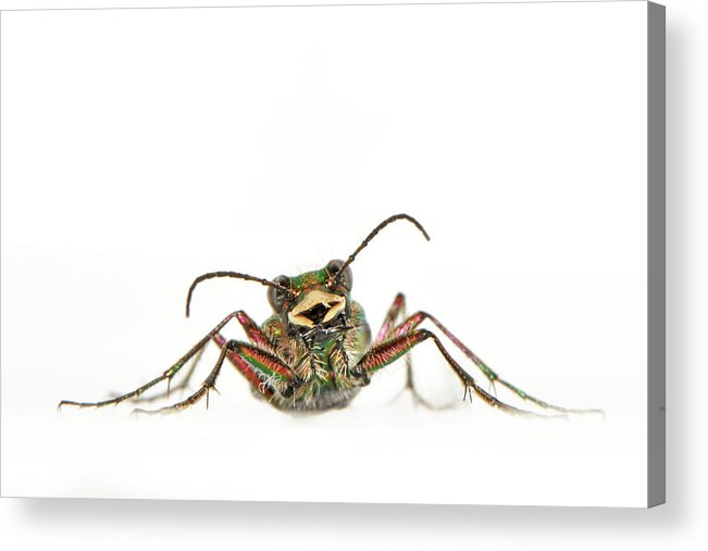White Background Acrylic Print featuring the photograph Green Tiger Beetle by Robert Trevis-smith
