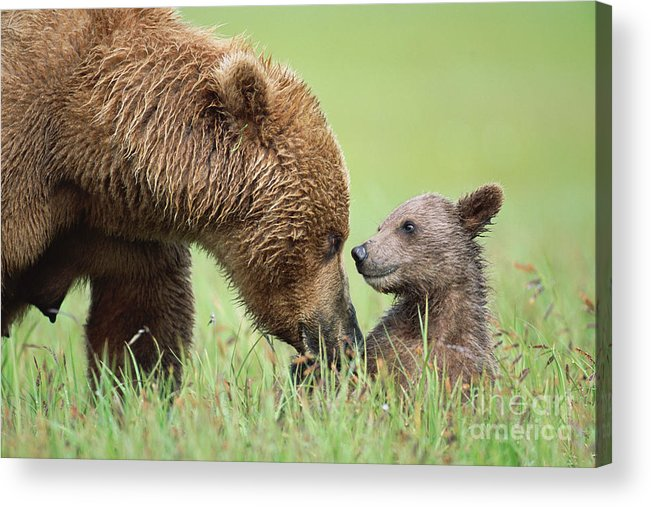00345260 Acrylic Print featuring the photograph Grizzly Bear And Cub in Katmai by Yva Momatiuk John Eastcott