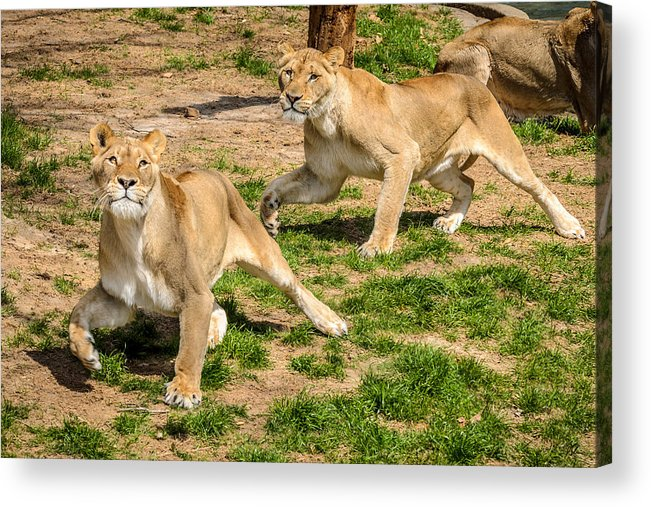 Lion Acrylic Print featuring the photograph Hokie Pokie by Pat Scanlon