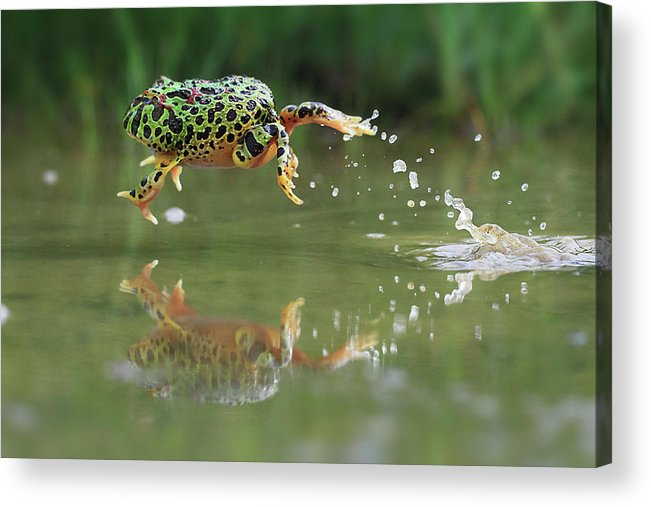 Grass Acrylic Print featuring the photograph Indonesia, Riau Islands, Frog Jumping by Shikheigoh