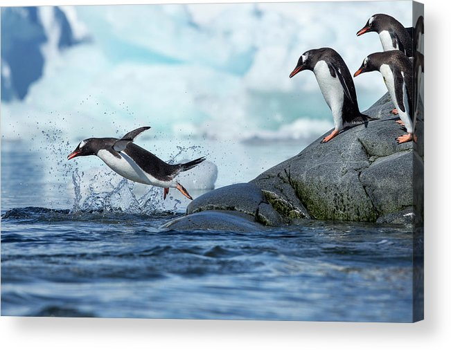 Water's Edge Acrylic Print featuring the photograph Leaping Gentoo Penguins, Antarctica by Paul Souders