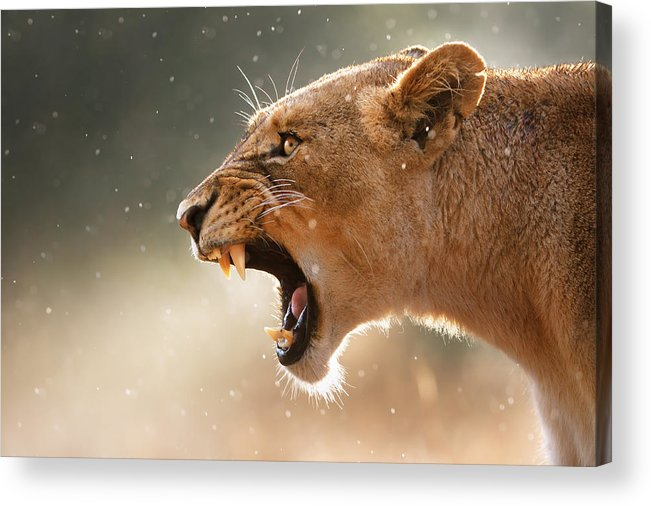 Lion Acrylic Print featuring the photograph Lioness displaying dangerous teeth in a rainstorm by Johan Swanepoel