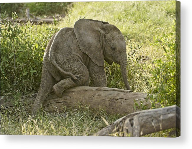 Africa Acrylic Print featuring the photograph Little Elephant Big Log by Michele Burgess