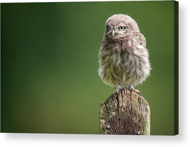 Owlet Acrylic Print featuring the photograph Little Fuzzy by Markbridger