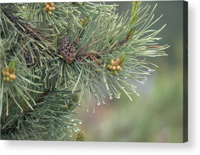 Pine Acrylic Print featuring the photograph Lodge Pole Pine in the Fog by Frank Madia