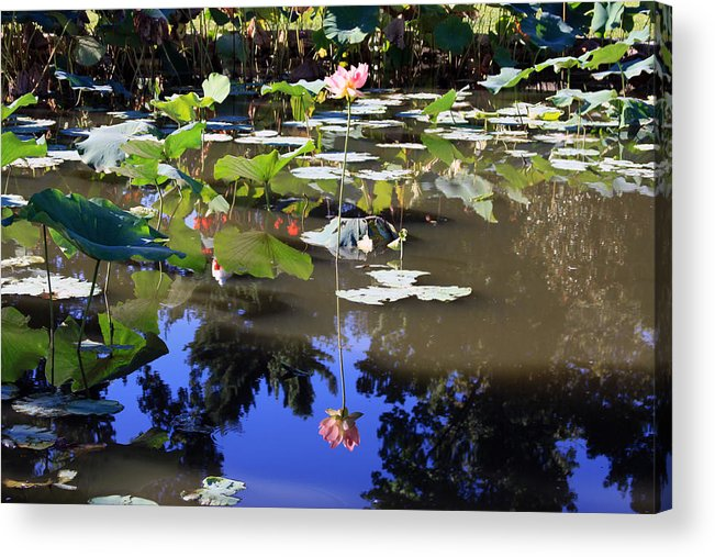 Garden Pond Acrylic Print featuring the photograph Lotus Reflection by John Lautermilch