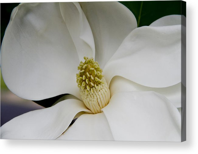 Magnolia Acrylic Print featuring the photograph Magnolia Two by Paul Anderson