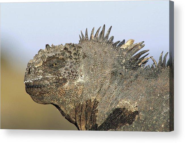 Feb0514 Acrylic Print featuring the photograph Marine Iguana Male Santa Cruz Island by Tui De Roy