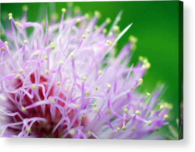 Mimosa Pudica Acrylic Print featuring the photograph Mimosa Pudica Flower by Olivier Vandeginste