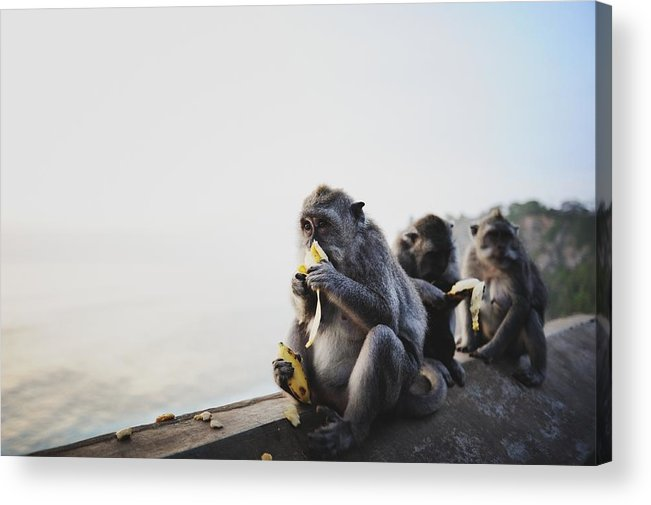 In A Row Acrylic Print featuring the photograph Monkeys Eating Bananas by Carlina Teteris