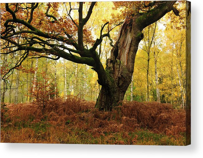 Aging Process Acrylic Print featuring the photograph Moss Covered Ancient Hollow Oak Tree In by Avtg
