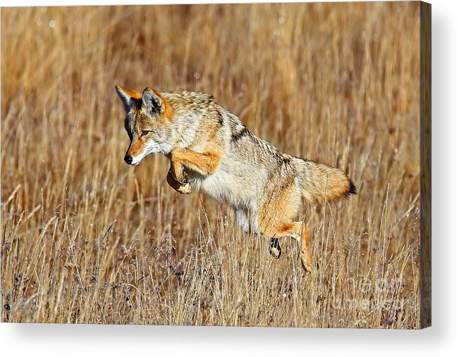 Coyote Acrylic Print featuring the photograph Mousing Coyote by Bill Singleton