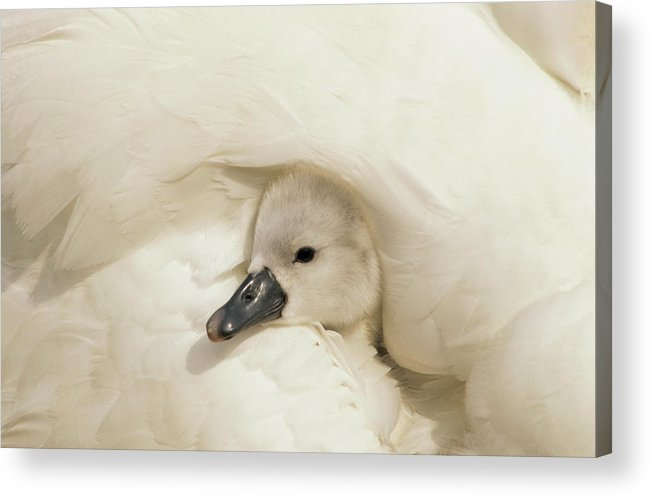 00278828 Acrylic Print featuring the photograph Mute Swan Cygnet by Flip De Nooyer