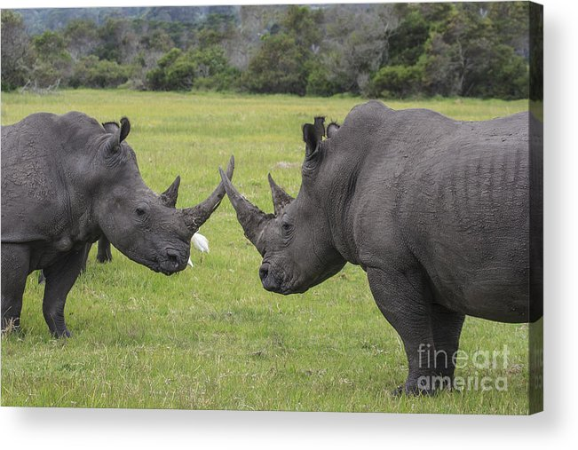 Rhino Acrylic Print featuring the photograph Horn To Horn by Jennifer Ludlum