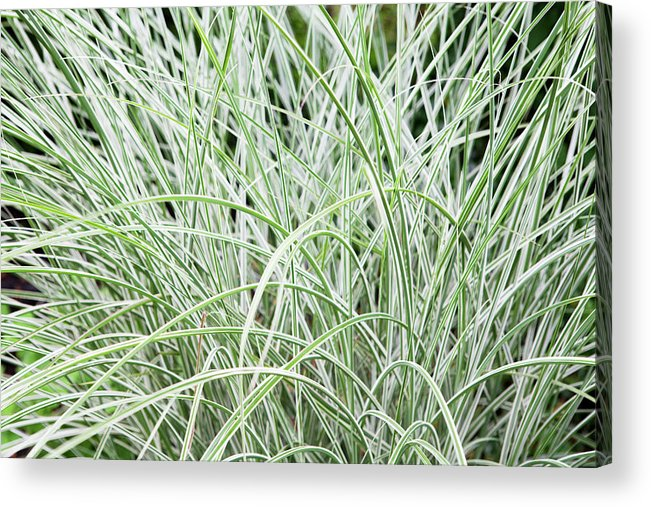Ornamental Grass Plant Acrylic Print By James French