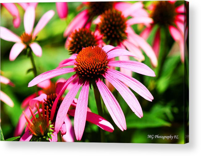 Pink Acrylic Print featuring the photograph Pink Beauty by Marty Gayler