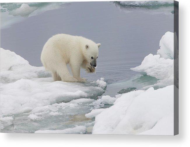 Bear Cub Acrylic Print featuring the photograph Polar Bear Cub Ursus Maritimus Playing by Gabrielle Therin-weise