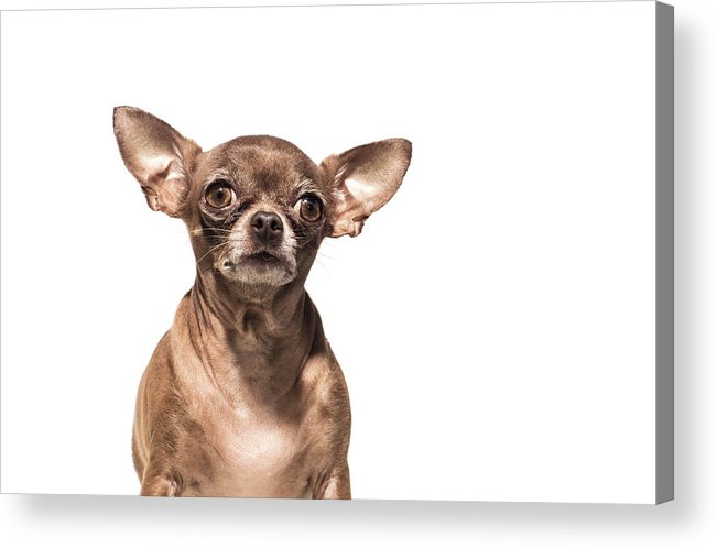 Pets Acrylic Print featuring the photograph Portrait Of A Chocolate Chihuahua - The by Amandafoundation.org