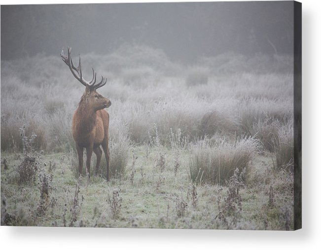 Deer Acrylic Print featuring the photograph Prideful. Deer . by Aitor Badiola