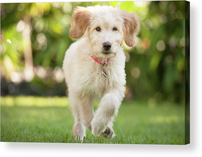 Pets Acrylic Print featuring the photograph Puppy Running Through The Grass by Chris Stein