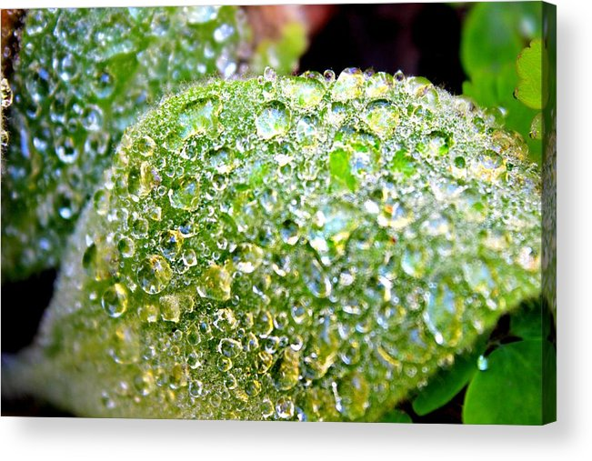 Raindrops Acrylic Print featuring the photograph Lambs Ear Raindrops by Candice Trimble