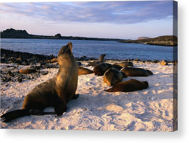 Sea Lion Acrylic Print featuring the photograph Sea Lions On Sombrero Chino Chinese Hat by Chris Beall
