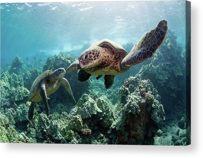 Underwater Acrylic Print featuring the photograph Sea Turtles by M Swiet Productions