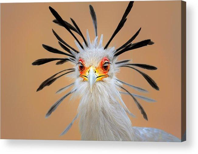 Bird Acrylic Print featuring the photograph Secretary bird portrait close-up head shot by Johan Swanepoel