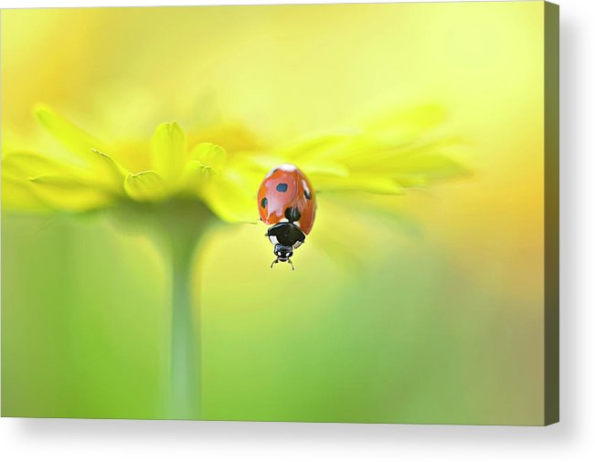 Buckinghamshire Acrylic Print featuring the photograph Seven Spot Ladybird On Yellow Flower by Jacky Parker Photography