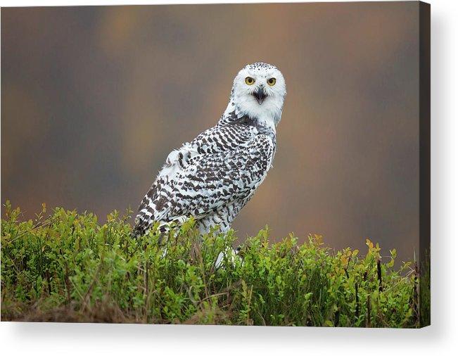 Snowy Owl Acrylic Print featuring the photograph Snowy Owl by Milan Zygmunt