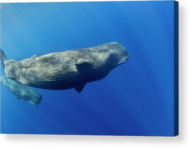 Underwater Acrylic Print featuring the photograph Sperm Whale Pyseter Macrocephalus by Stephen Frink