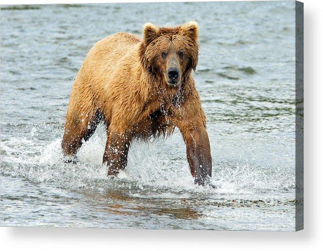 Bear Acrylic Print featuring the photograph Splish Splash by Bill Singleton