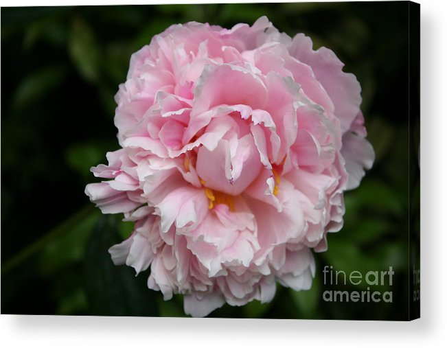 Peony Acrylic Print featuring the photograph Spring In Pink by Christiane Schulze Art And Photography
