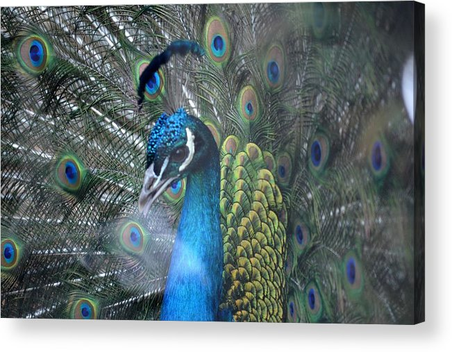 Peacock Acrylic Print featuring the photograph Strutting by Lisa Kane