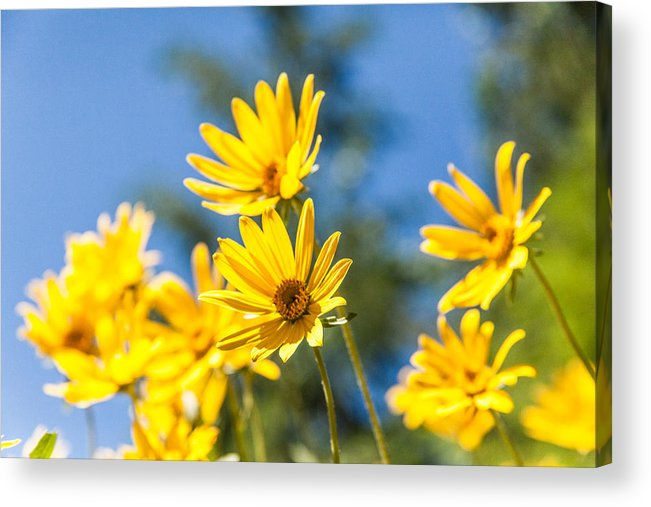 Flowers Acrylic Print featuring the photograph Sunshine by Chad Dutson