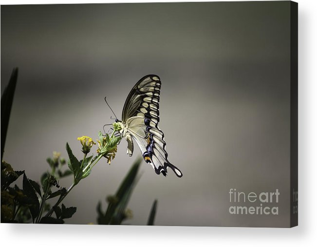 Butterfly Acrylic Print featuring the photograph Swallowtail Butterfly 2014 by Linda Ebarb