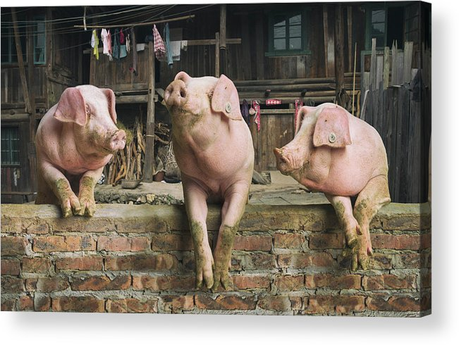 Pig Acrylic Print featuring the photograph Three Pigs Having A Chat In A Remote by Mediaproduction