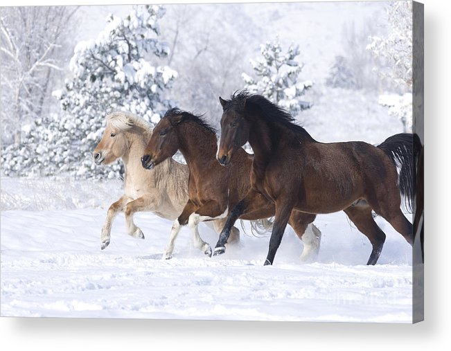 Horse Acrylic Print featuring the photograph Three Snow Horses by Carol Walker