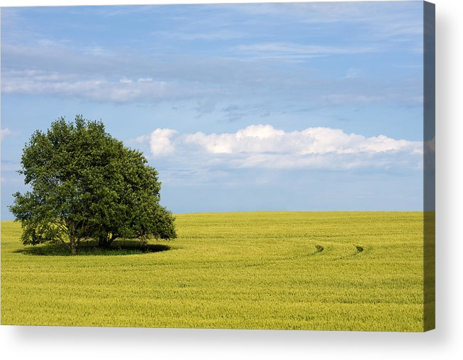 Grass Family Acrylic Print featuring the photograph Trees In Wheat Field by Simplycreativephotography