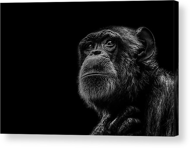 Chimpanzee Acrylic Print featuring the photograph Trepidation by Paul Neville