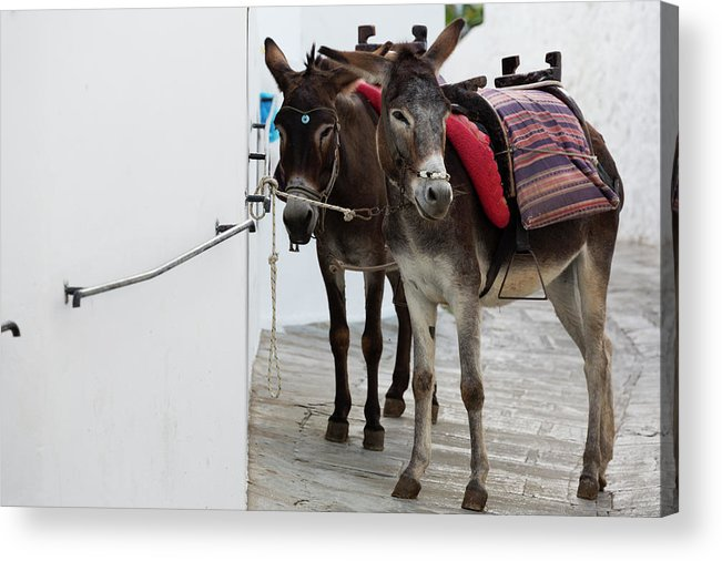 Working Animal Acrylic Print featuring the photograph Two Donkeys Tethered In The Street In by Martin Child