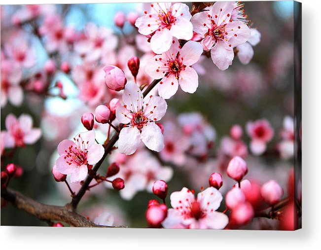 Cherry Blossom Acrylic Print featuring the photograph Virginia Cherry Blossom by Candice Trimble