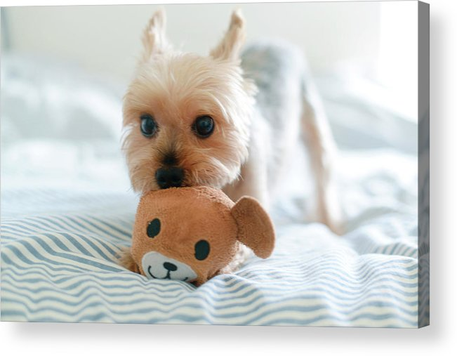 Pets Acrylic Print featuring the photograph Yorkie Playing With Teddy Toy by Cheryl Chan