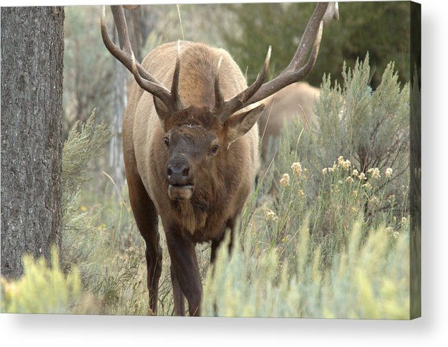 Elk Acrylic Print featuring the photograph You Looking At Me by Frank Madia