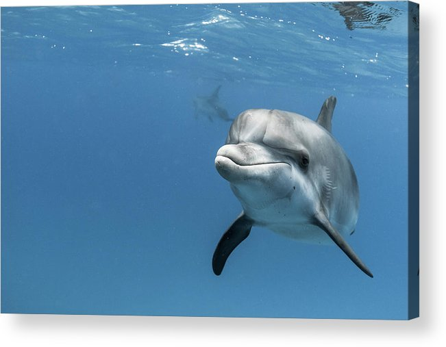 Underwater Acrylic Print featuring the photograph Young Atlantic Spotted Dolpin by Kerstin Meyer