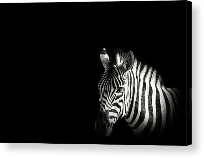 Black Color Acrylic Print featuring the photograph Zebra Portrait In Black Background by George Pachantouris